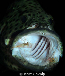 The grouper opens the mouth with the signal. He is like a... by Mert Gokalp 